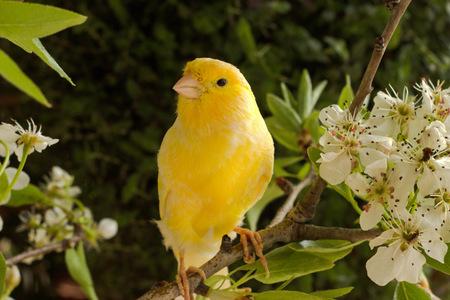 aves: canario en una rama floreciente.