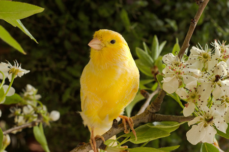 canary bird on a flowering branch. Stok Fotoğraf - 39180203