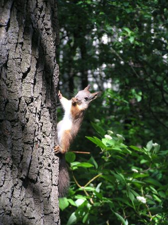 The squirrel on a tree