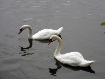 swan, swans, birds, love, water, animals