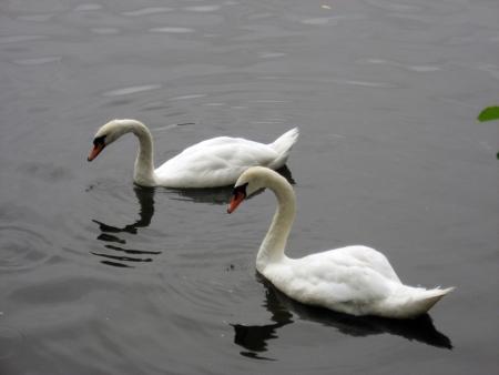 swan, swans, birds, love, water, animals photo