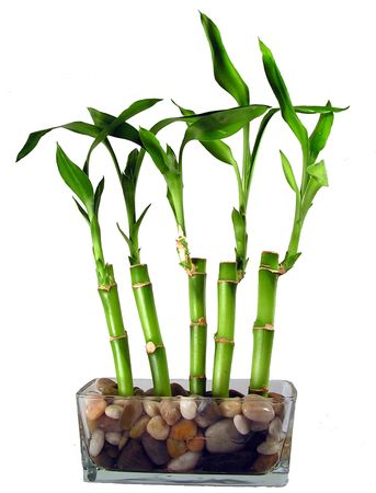 Five stalks of lucky bamboo in a glass dish with river rocks.