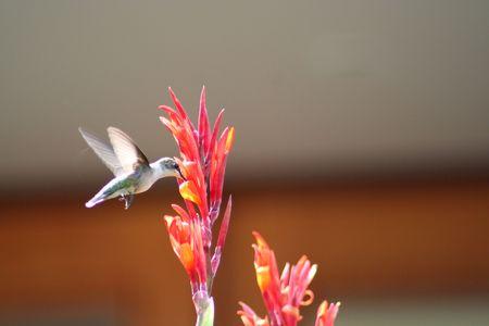 Humming bird flying around a red orange flower to feed