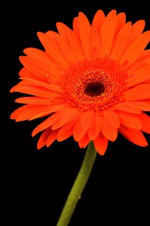Dark orange gerbera daisy on black background