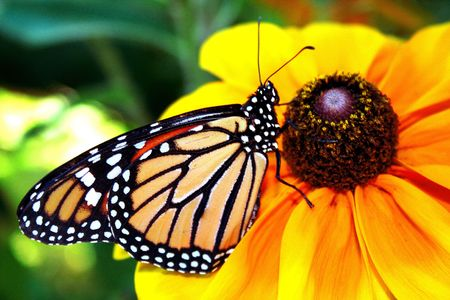 Beautiful Monarch butterfly resting in a daisy