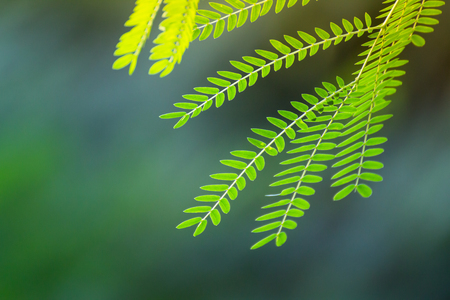 pennata: Acacia leaf, green leaves in evening