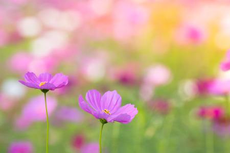 pink cosmos flowers on blur flower field background