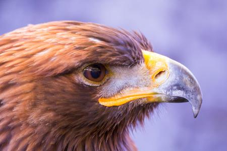 golden eagle head Stock Photo