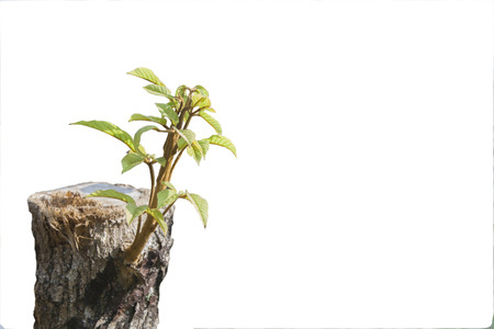 green young little tree emerge from wood stump - concept of hope and rebirth