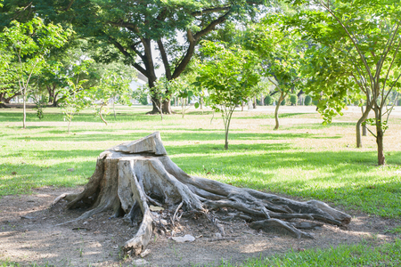 deforestacion: concepto de la deforestación con un tocón de árbol en un bosque verde. Foto de archivo