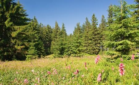 sonnigen Sommer Wald auf den Hügeln mit vielen rosa Blüten und grünen Bäumen