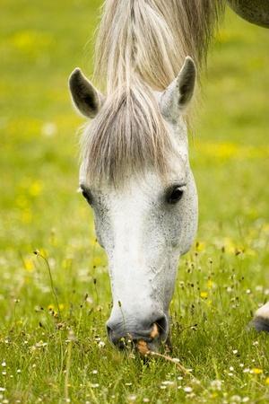 Weiß schönes Pferd grast auf der grünen Frühling Feld