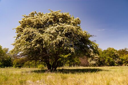 Beautiful fluffy flowering tree grows in field against the background of the forest and blue sky on a sunny warm spring day. Concept of environmentally friendly places and leisure in the countryside Stock fotó