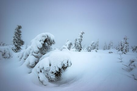Wind blows on snowy young fir trees growing on a hillside among snow in winter. The concept of harsh northern nature and the beauty of winter. Copyspace