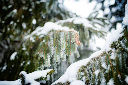 Green snowy frozen spruce branches of a beautiful large spruce growing in the forest. The concept of evergreen trees and the new year and the winter landscape