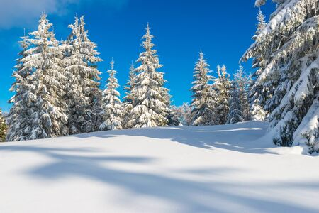 Sunny winter landscape of snowdrifts on the background of a slender coniferous forest on a frosty winter day. The concept of purity and pristine nature of the northern nature. Copyspace