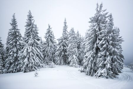 Small fragile tree covered with hoarfrost lonely grows from a snowdrift against the backdrop of giant centuries-old blurry snowy fir trees. Concept of a dying forest and bad ecology