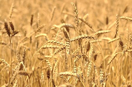Close-up of golden wheat spikes on sunny summer clear day. Agricultural natural background and wallpaper