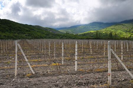 Rows of grapes in the off-season, vineyards in Crimea among hills, cloudy sky and green grass