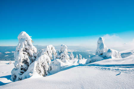 Amazing winter landscape of snowy little fir trees on the background of mountains and forest on a sunny day on a background of blue sky. The concept of pristine harsh nature. Copyspace