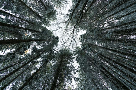 The camera is directed upwards towards the crowns of the trees, UHD 4K realtime video