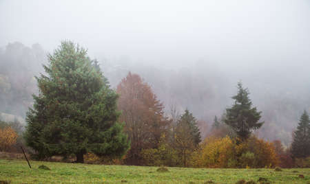 Colorful dense forests in the warm green mountains of the Carpathians covered with thick gray fog