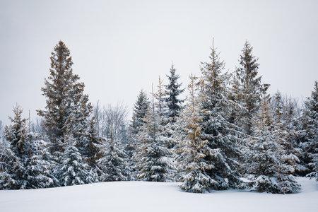 Harsh winter landscape beautiful snowy fir trees Standard-Bild