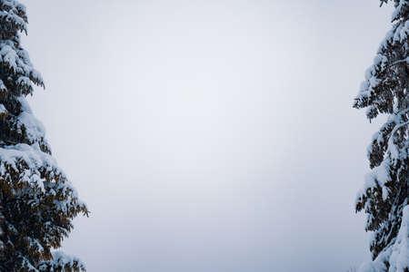 Bottom view massive chic snowy fir trees Standard-Bild