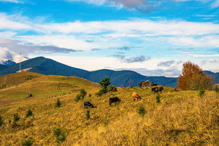 A large herd of cows grazes in the meadow and eats grass against the backdrop of the beautiful nature of the Carpathians