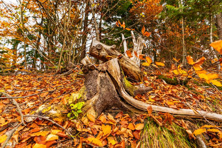 Old tree stump sprinkled with fallen leaves in the autumn forest Imagens