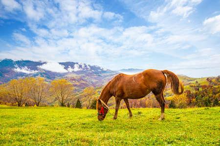A handsome stallion walks in the field and eats juicy grass Standard-Bild