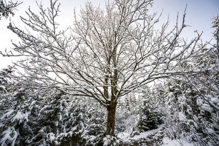 A small tree without leaves in a large Carpathian forest lit by the sun and covered with white snow Imagens
