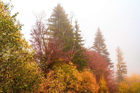 Colorful trees in the Carpathian mountains covered with thick gray fog Imagens