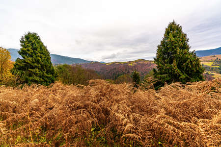 A field with dried grass on the background of hills with spruce forests in the Carpathian mountains