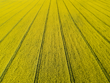Aerial view of blooming yellow rapeseed field at sunny day in spring. Stock Photo