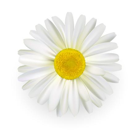 Camomilla, bellissimo fiore margherita con petali di luce isolati su sfondo bianco.