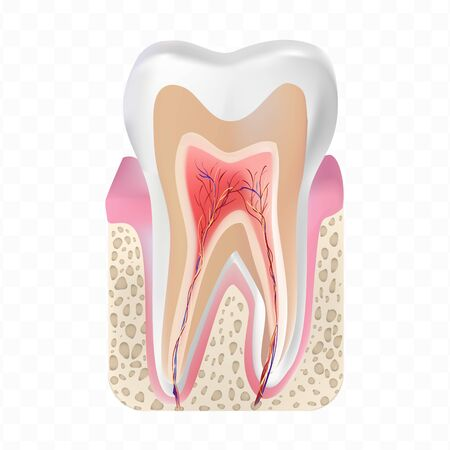 Healthy white tooth structure isolated on transparent background. Premium quality vector illustration.