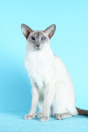 Oriental siamese cat sitting on a light blue background. Stock Photo
