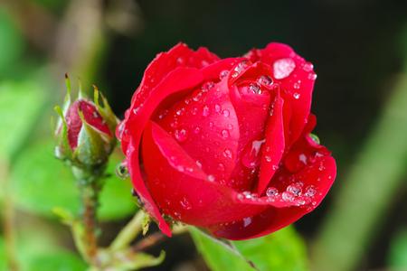 水の滴の背景をぼかした写真をクローズ アップ赤い薔薇の蕾