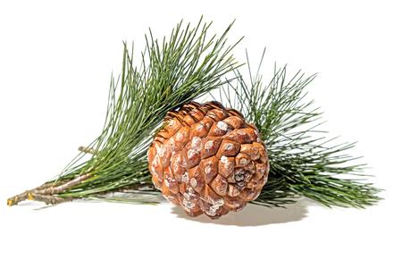 Cedar pine cone with branch closeup white background