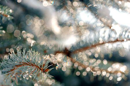blue pine Branch closeup blurry bokeh background