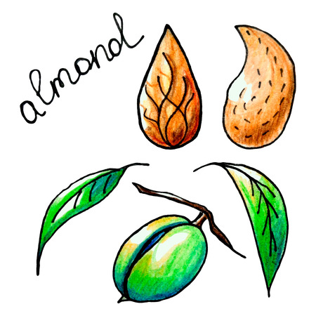Vector botanical composition with an isolated almond nut, almond nutshell and leaves. Perfect design for label, recipe, food blog, biology book, table cloth decoration and other projects.