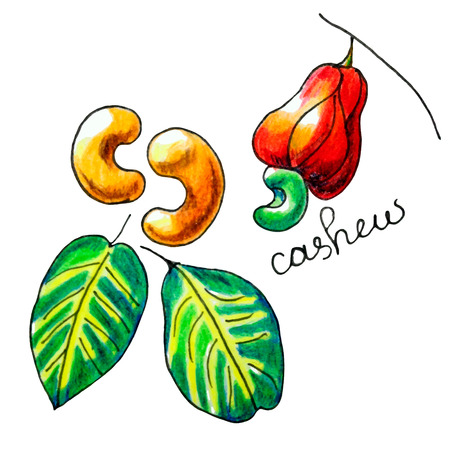 mixed nuts: Vector composition with an isolated cashew nut, cashew fruit and leaves. Perfect design for label, recipe, food blog, table cloth decoration and other projects.