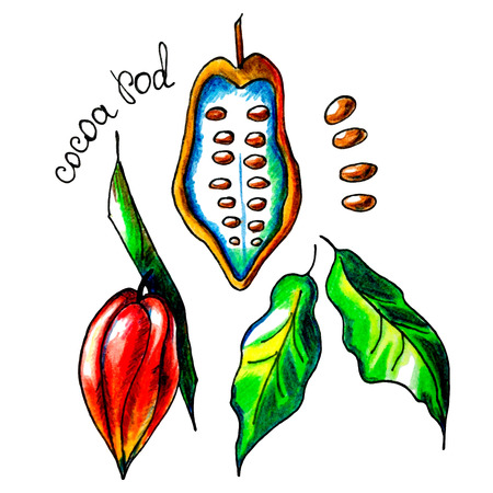 Vector botanical composition with an isolated cocoa pod, cocoa beans, tree and leaves. Perfect design for label, cocoa mug, recipe, food blog, biology book, table cloth decoration and other projects.