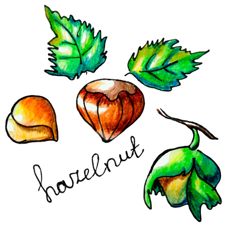 mixed nuts: Vector botanical composition with an isolated hazelnut, tree and leaves. Perfect design for label, chocolate cover, recipe, food blog, biology book, table cloth decoration and other projects.