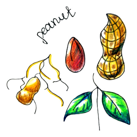 Vector botanical composition with an isolated peanut, shell and leaves. Perfect design for label, chocolate cover, peanut butter jar, recipe, food blog, biology book, table cloth decoration and other projects.