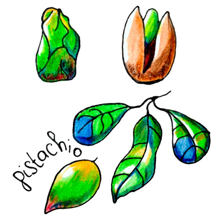 mixed nuts: Vector botanical illustration with an isolated pistachio but, shell and leaf. Perfect design for label, ice cream cover, recipe, food blog, biology book, table cloth decoration and other projects.
