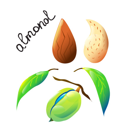 Vector botanical composition with an isolated almond nut, almond nutshell and leaves.