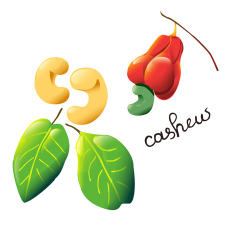 Vector composition with an isolated cashew nut, cashew fruit and leaves.