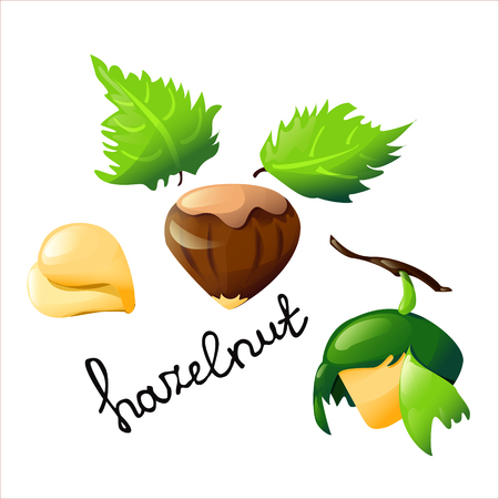 Vector botanical illustration with an isolated hazelnut, tree and leaves.